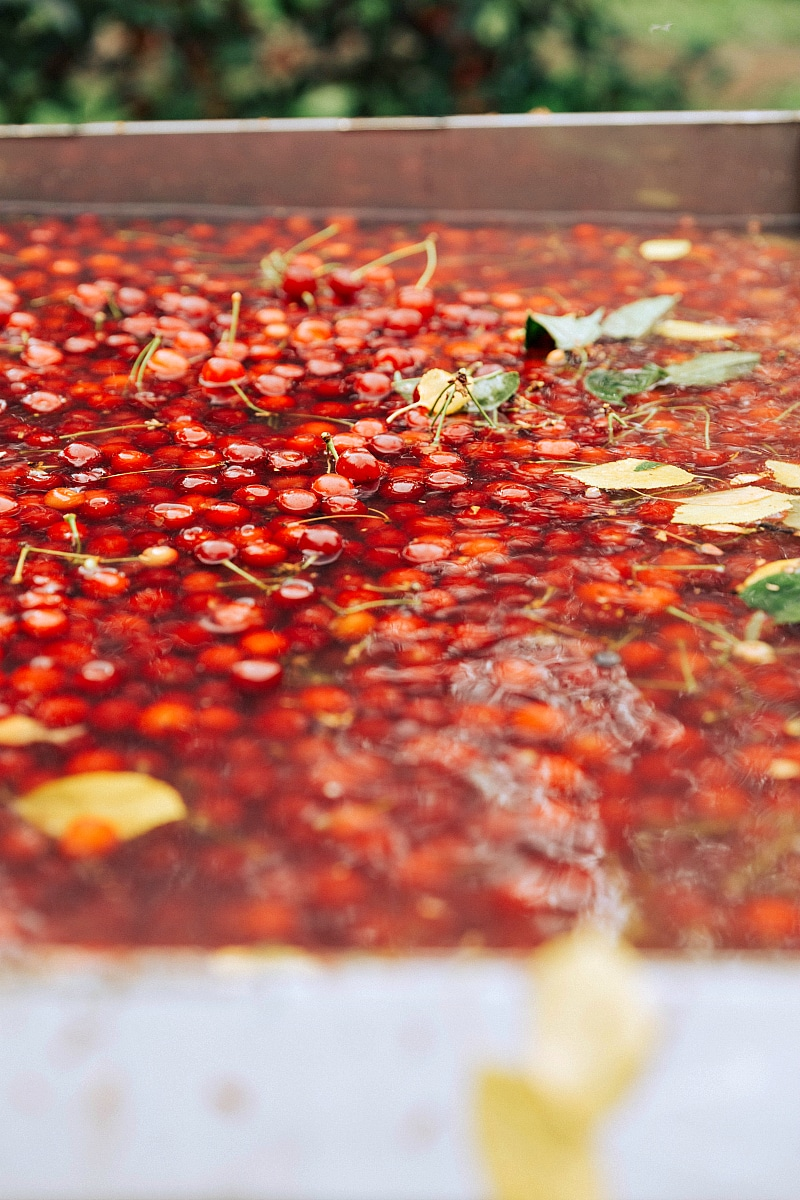 Image of the fresh cherries being soaked and cleaned